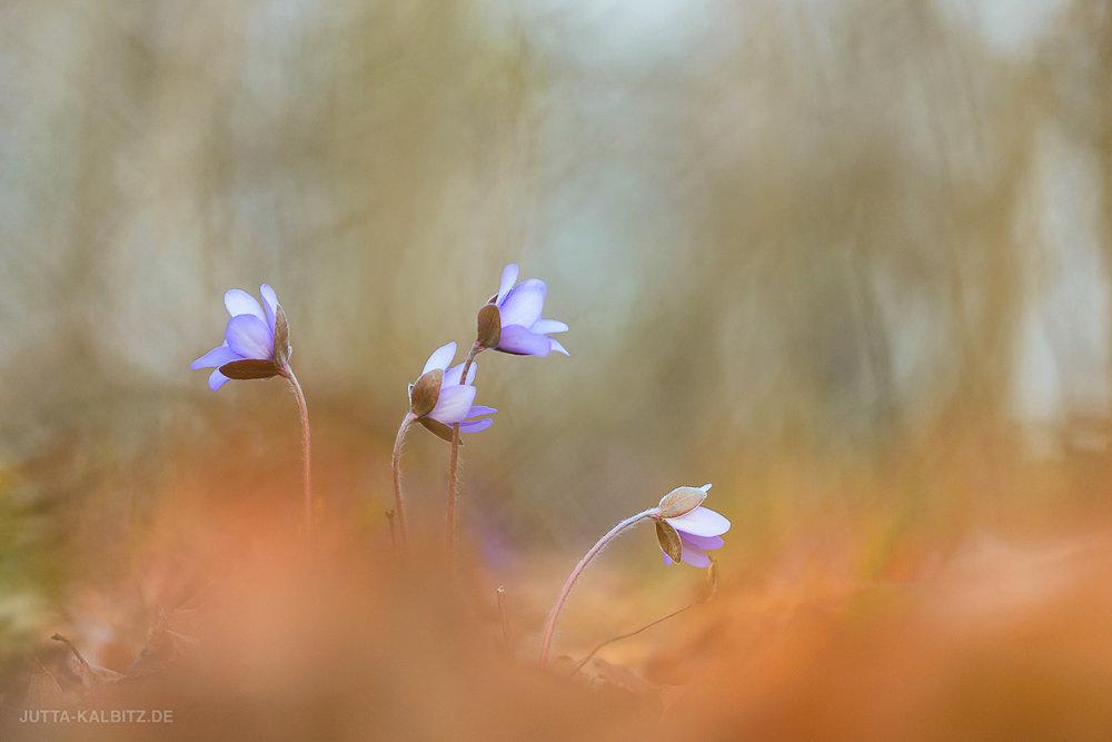 """Am Wegesrand"" - Leberblümchen - Hepatica nobilis"
