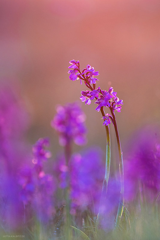 Orchis-blog-5a.JPG