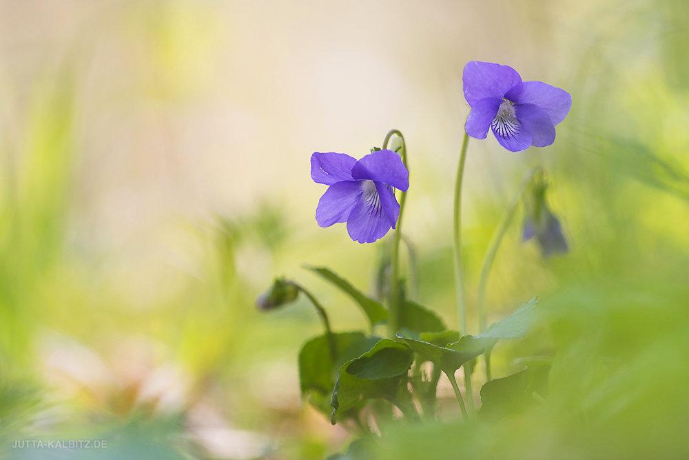 Veilchen - Viola