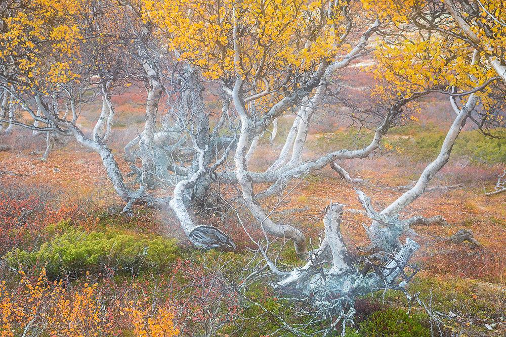 Fjellbirken(kamerainterne Doppelbelichtung)