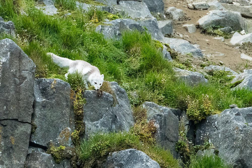 Svalbard-fauna-2c.jpg