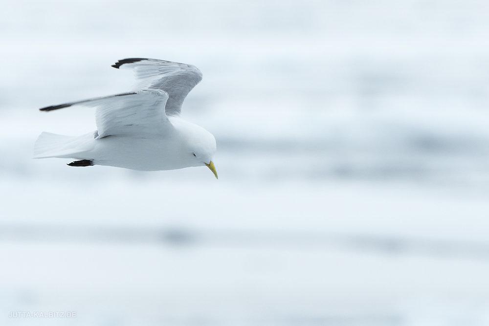Svalbard-fauna-3a.jpg