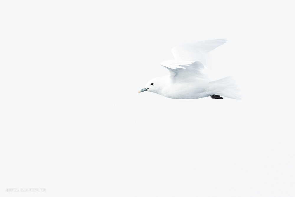 Svalbard-fauna-3c.jpg