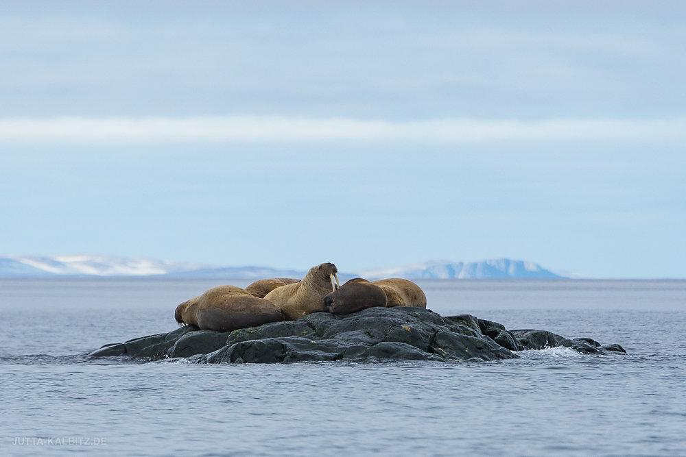 Svalbard-fauna-5.jpg