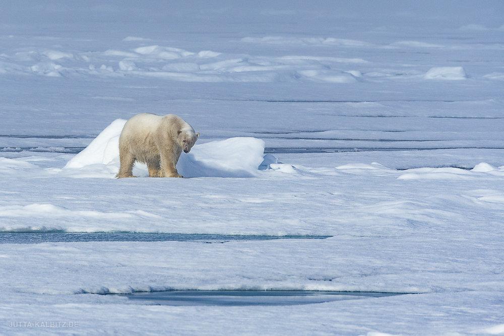 Svalbard-fauna-7.jpg