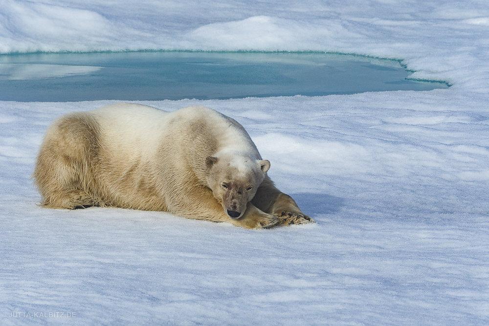 Svalbard-fauna-7a.jpg