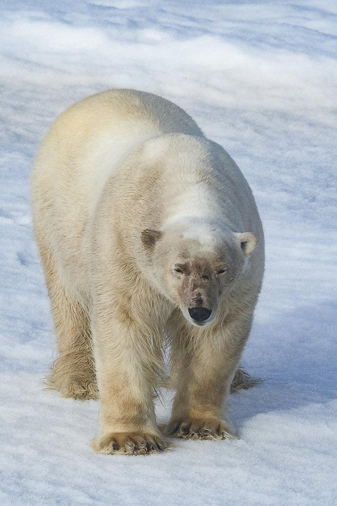 Svalbard-fauna-7b.jpg