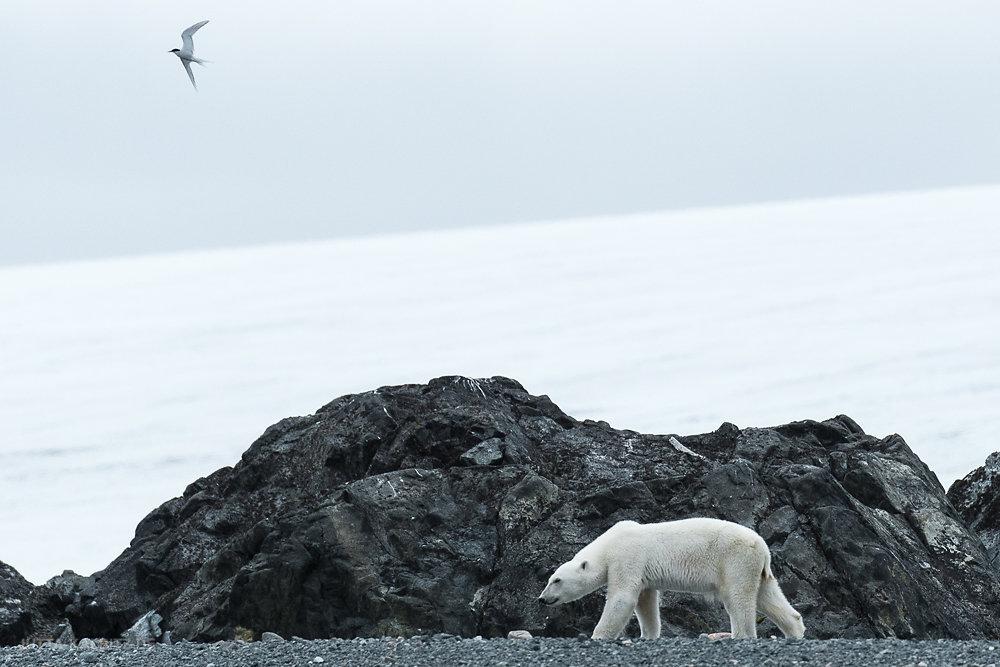 Svalbard-fauna-8a.jpg