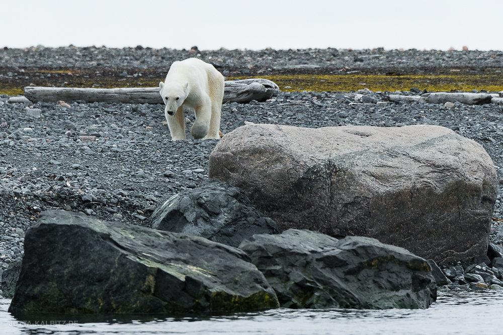 Svalbard-fauna-8b.jpg