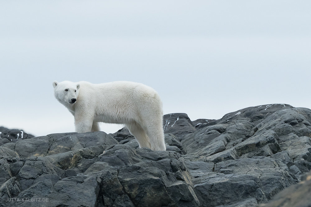 Svalbard-fauna-8c.jpg