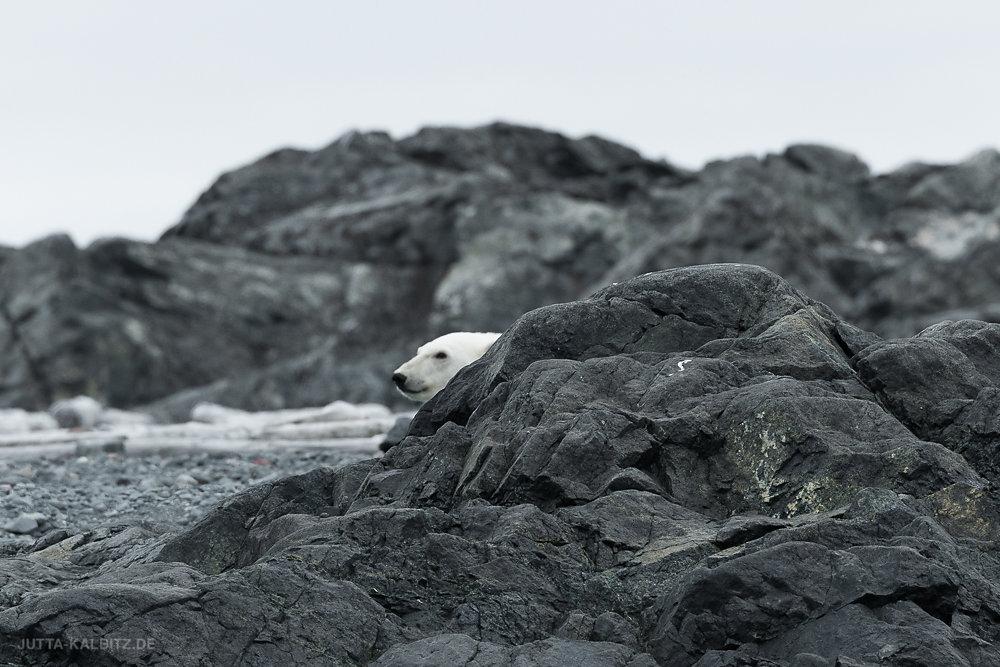 Svalbard-fauna-8d.jpg