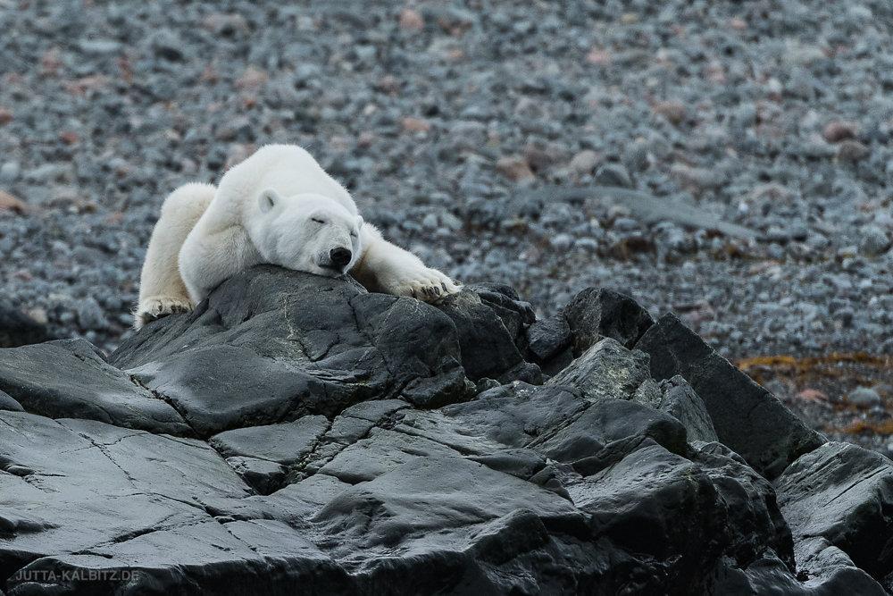 Svalbard-fauna-8f.jpg