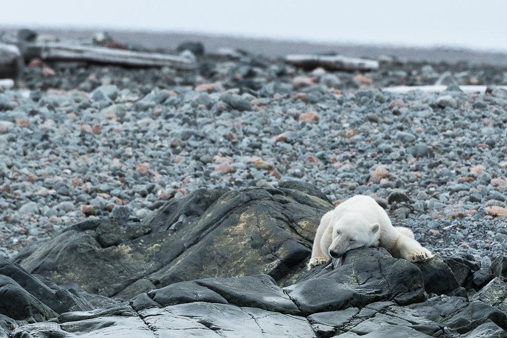 Svalbard-fauna-8g.jpg