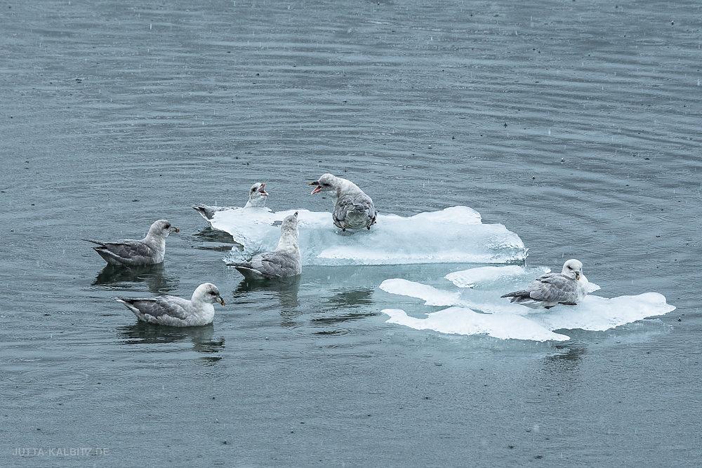 Svalbard-fauna-23.jpg