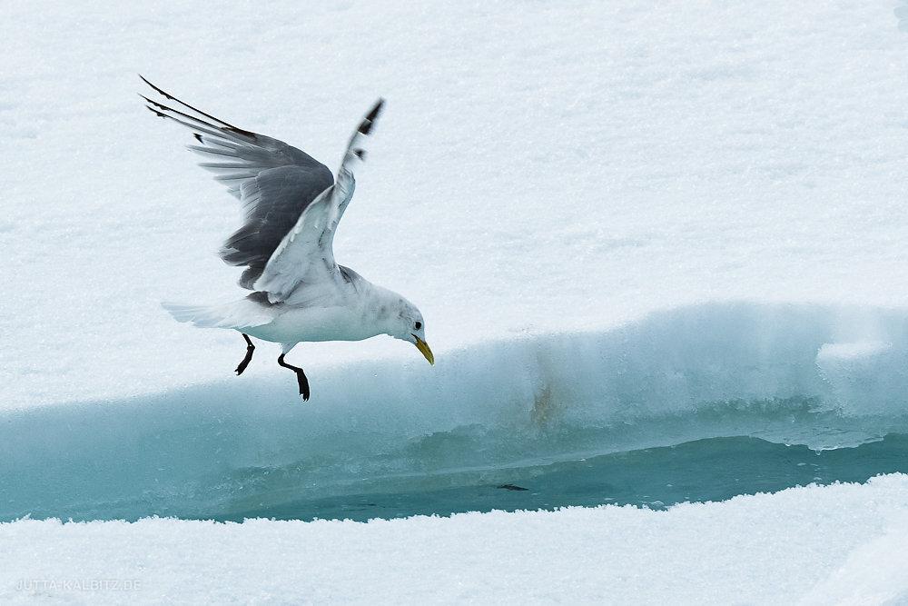 Svalbard-fauna-19.jpg