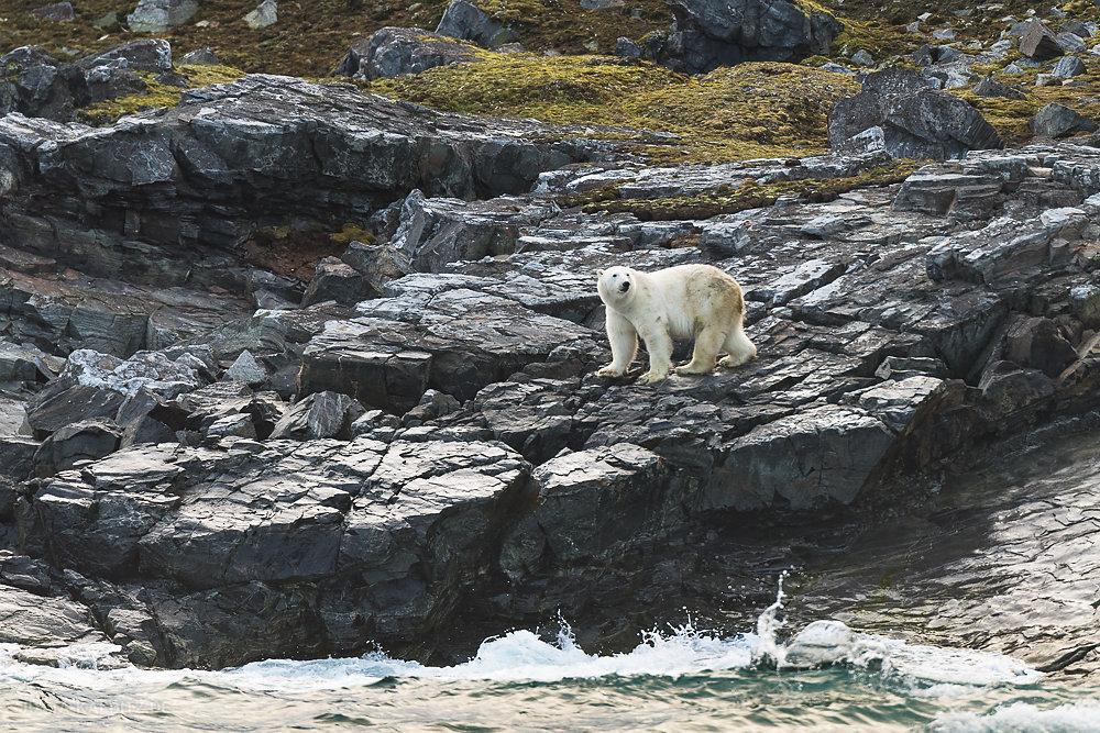 Eisbär auf Karl XII Insel