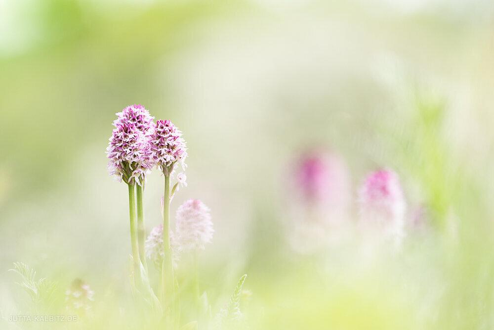 Orchideen-2020-3.JPG